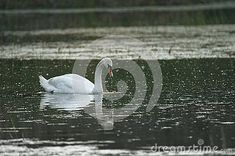 mute-swan-species-swan-member-waterfowl-family-anatidae-slovakia Mute Swan, Animals, White Swan, Animales, Animaux, Animal, Animais