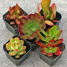 Sunset Succulent Collection (5) - Mountain Crest Gardens
