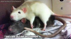 Rat jokes