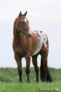 Appaloosa--my favorite kind, solid over most of the body and a very defined blanket over the hips.