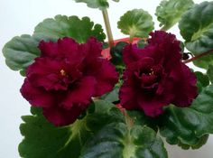Harmony's Frilly Girl (Harmony Greenhouse) Double dark blue/red frilled. Green, quilted girl foliage. Standard