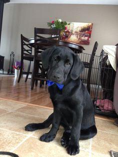 black lab puppy #animals, #bowtie, #puppy