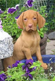Vizsla puppy... baby Charlie??!