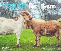 #vegan for life, ♡ goats for life