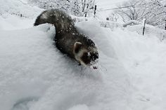 ferret fun in the snow