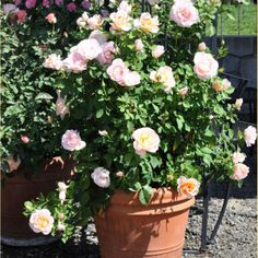 Good info on growing roses in pots. Also has some useful types of roses for smaller bushes.