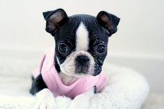 More About Amusing Boston Terrier Puppies Terrier Breeds, Terrier Puppies, Pitbull Terrier, Cute Puppies, Cute Dogs, Dogs And Puppies, Doggies, Boston Terrier Love, Boston Terriers