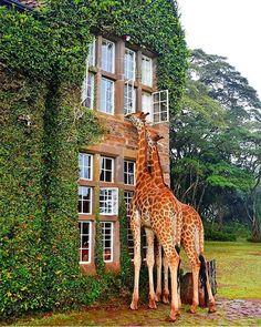 Bucket List Moment! Giraffe Manor, Nairobi, Kenya by @corrine_t