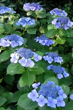 The large outer ring of petals surround the tiny fertile flowers of these healthy lacecap hydrangeas. Hortensia Hydrangea, Hydrangea Garden, Blue Hydrangea, Blue Garden, Shade Garden, Garden Plants, Flowering Shrubs, Trees And Shrubs, Purple Flowers