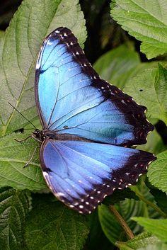 I ❤ butterflies . . . Blue Morpho Butterfly ~By KAM918