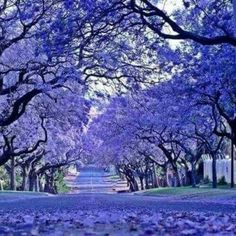 Johannesburg, South Africa - they were in bloom when we were there Beautiful Places In The World, Flowering Trees, Image Hd, Africa Travel, Amazing Nature, Trees To Plant, Beautiful Landscapes, Places To See, Nature Photography