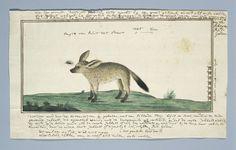 Robert Jacob Gordon   Kaapse vos (Otocyon megalotis), Robert Jacob Gordon, 1777 - 1786   Kaapse vos (Otocyon megalotis), met schaalindeling in Rijnlandse duim.