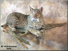 bobcat mounts - Google Search