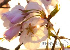 love the light peeking through these buds, compliments of @Jenny Rain.