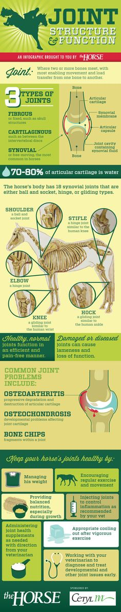 How horse joints work and how you can keep your horse's joints healthy with this step-by-step visual guide, brought to you by TheHorse.com #horses #horsehealth