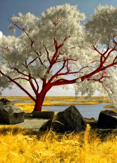 Red Beach Tree - I have NEVER seen a tree like this! Just awesome