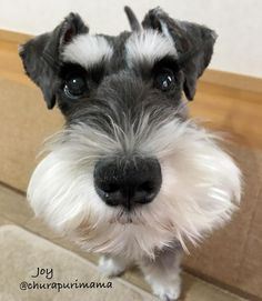 Schnauzer Dogs, Mini Schnauzer, Miniature Schnauzer, Cute Animal Pictures, Animal Pics, Dog Pictures, Wire Fox Terrier, Puppys, Best Dogs