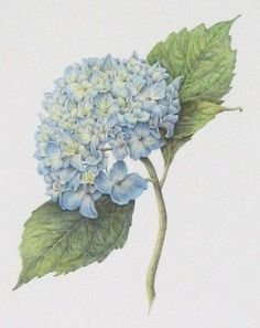 Hydrangea macrophylla 'Nikko Blue' by Art by Cheryl Images Vintage, Vintage Art, Botanical Flowers, Botanical Prints, Art Floral, Hortensia Hydrangea, Hydrangea Macrophylla, Hydrangea Bush, Green Hydrangea
