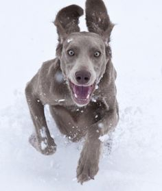 """10 Cool Facts About Weimaraners - Dogs Tips & Advice 