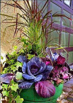 Purple millet, kale & cabbage, ivy