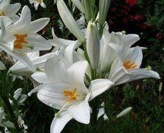 lilys, лилия