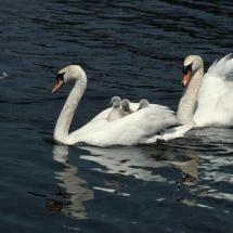 Swan Love, Beautiful Swan, Beautiful Birds, Cygnus Olor, Swan Pictures, Baby Swan, Duck And Ducklings, Princess Kitty, Mute Swan