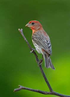 The House Finch - Carpodacus mexicanus . Their breeding habitat is urban and suburban areas in the east and semi open areas in the west from from southern Canada to northern Florida .