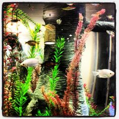1000 images about fishy friends on pinterest betta fish for What kind of fish do i have