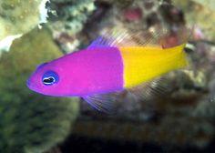 Fish recherche google fish pinterest fish for Pacifico fish company