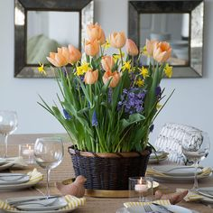 Apricot Parfait Bulb Collection: Tulips the color of creamy apricot are featured in this ebullient salute to spring, with 'Apricot Beauty' in the starring role. Dwarf Narcissus 'Lemon Sailboat' mixes and mingles with fragrant Hyacinth 'Anastasia' and 2 varieties of lightly scented Muscari. 42 bulbs in 10″ woven basket, ready to begin growing on arrival.