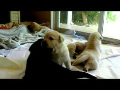 Lab puppies, so many...