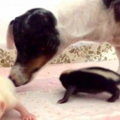 Amor sem barreiras! Cadelinha vira mãe adotiva de filhotinhos de gambás