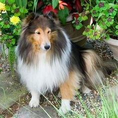 Shetland Sheepdog ~ ABOUT THE BREED.  TYPICALLY, PART OF THEIR HERDING PROCESS INVOLVES BARKING ~