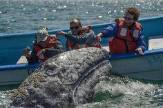 Tim Melling - friendly Grey Whale - Mark Avery | Baja California | Scoop.it