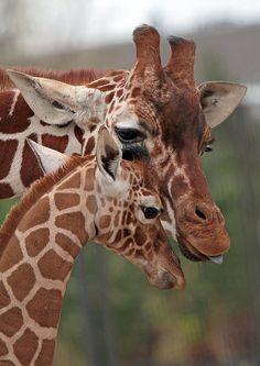 Giraffes - photo by j.a.kok, via Flickr
