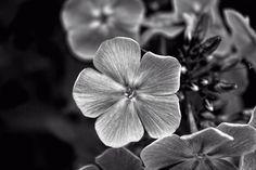 Monochrome Flower by MichelleBurkGallery