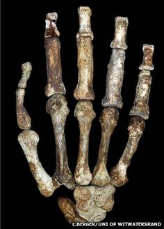 The 1.9-million-year-old fossils were first described in 2010, and given the species name Australopithecus sediba.  But the team behind the discovery has now come back with a deeper analysis.  It tells Science magazine that features seen in the brain, feet, hands and pelvis of A. sediba all suggest this species was on the direct evolutionary line to us - Homo sapiens.