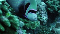 Emperor Angelfish, Collection Didier Noirot, French Polynesia, Coral Reef, Beauty in Nature, Sea Life, Swimming, Pacific Ocean, Non Urban Scene, Group of Animals, No People, Stock Footage,