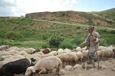 Armenia - Yezidi sheep-farmers in the mountains of Urtsasar, June 22 2012. Photo by Karen Minasyan (RFE/RL)