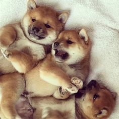 Shiba Inu puppies waking up!