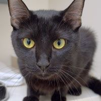 Name:OpelColor:Black Breed:Domestic ShorthairGender:FemaleAge:1 year  424 E 92nd St  New York, NY 10128  (212) 876-7700
