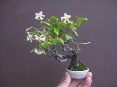 盆栽:紀州萩とかが咲く|春嘉の盆栽工房