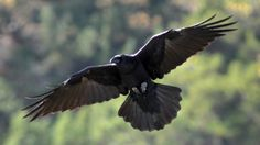 Raven Brings Light - The Nature Place Day Camp