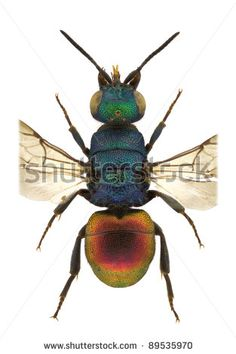 A female of Hedychrum genus, cuckoo wasp, isolated on a white background - stock photo