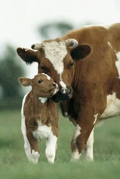 loving mama and baby #cows