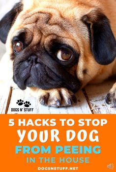Here are the 5 things you can do to stop your dog from peeing in the house! Here are the 5 things you can do to stop your dog from peeing in the house! Dog Training Tips, Kennel Training A Puppy, Potty Training Videos, Off Leash Dog Training, Puppy Toilet Training, Puppy Training Classes, Service Dog Training, Brain Training, Service Dogs
