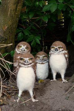 four adorable fluffy owls
