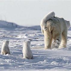 Polar Bear Family - photo by Nik Zinoviev.