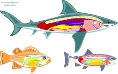 fish:  anatomy of fish and shark