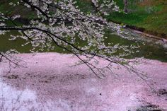 More cherry blossom petals are in the moat than on the tree in Hirosaki's Castle Park on a rainy day.
